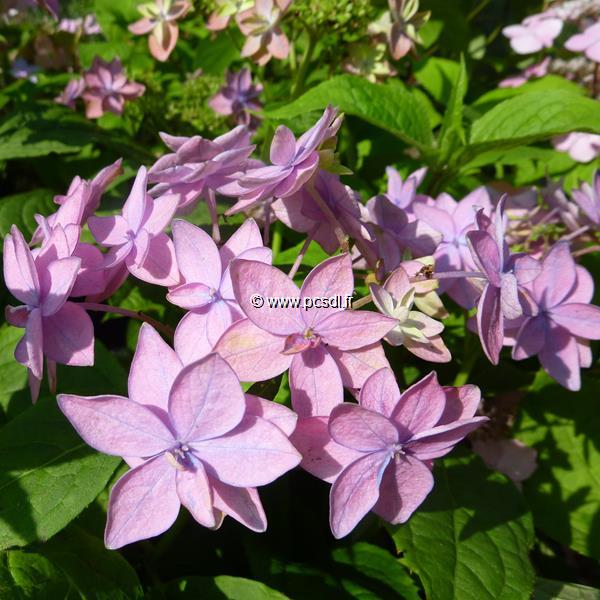 Hydrangea serrata \'Mikata-yae\' C4L 20/40