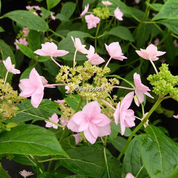 Hydrangea serrata \'Shichidanka\' C4L 20/40