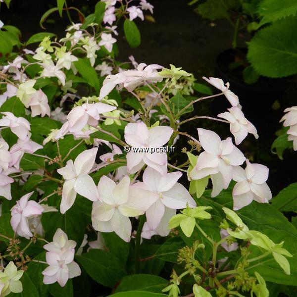 Hydrangea serrata \'Shinonome\' C4L 20/40