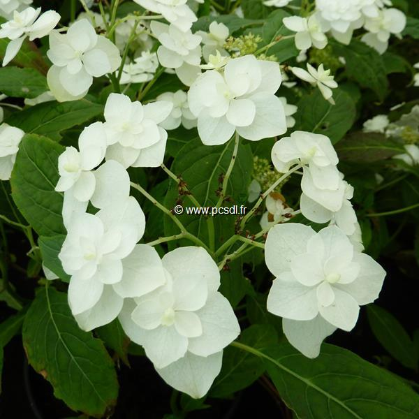 Hydrangea serrata \'Shirotae\' C4L 20/40