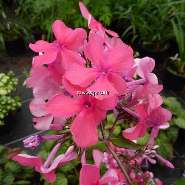 Phlox paniculata \'Elisabeth Arden\' C3L