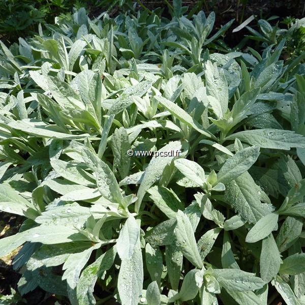 Artemisia ludoviciana \'Valerie Finnis\' C3L