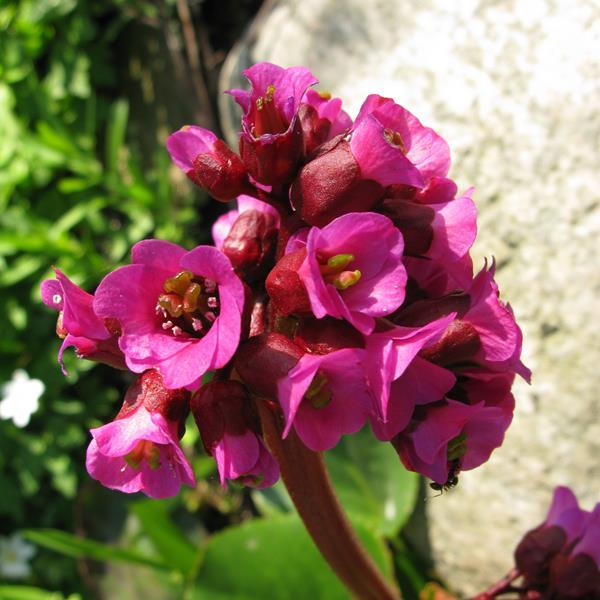 Bergenia cordifolia \'Redstart\' C3L