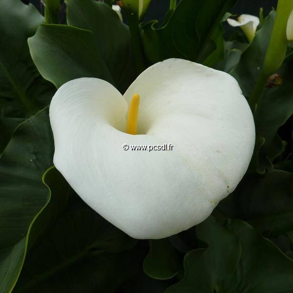 Zantedeschia aethiopica C3L