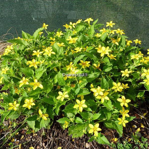 Chrysogonum virginianum C3L