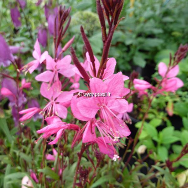 Gaura lindheimeri \'Crimson Butterfly\' C3L