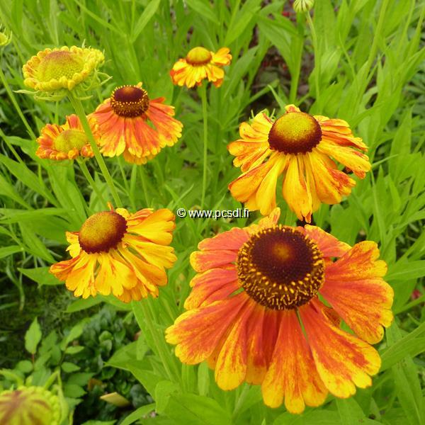 Helenium \'Sahin\'s Early Flowerer\' C3L