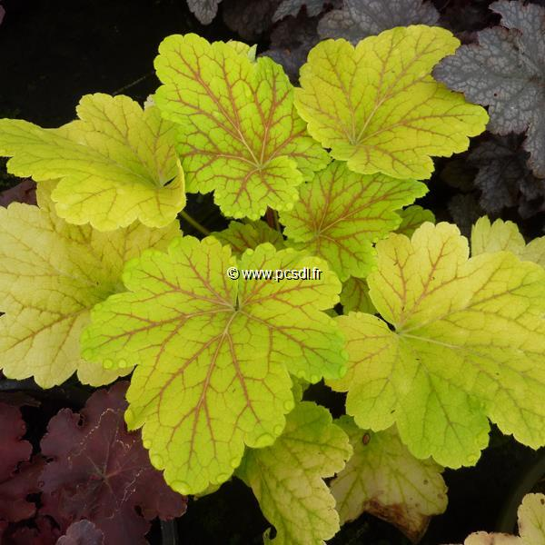Heuchera \'Electric Lime\' C3L