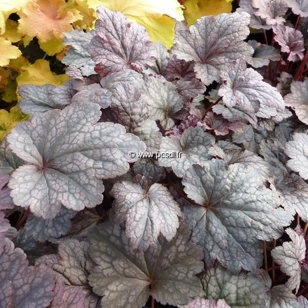 Heuchera \'Plum Pudding\' ® C3L