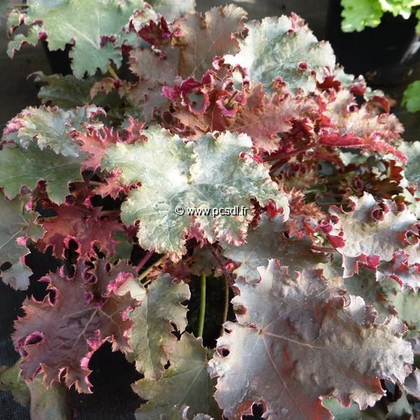 Heuchera \'Purple Petticoats\' C3L