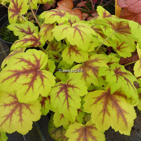Heucherella \'Stoplight\' ® C3L