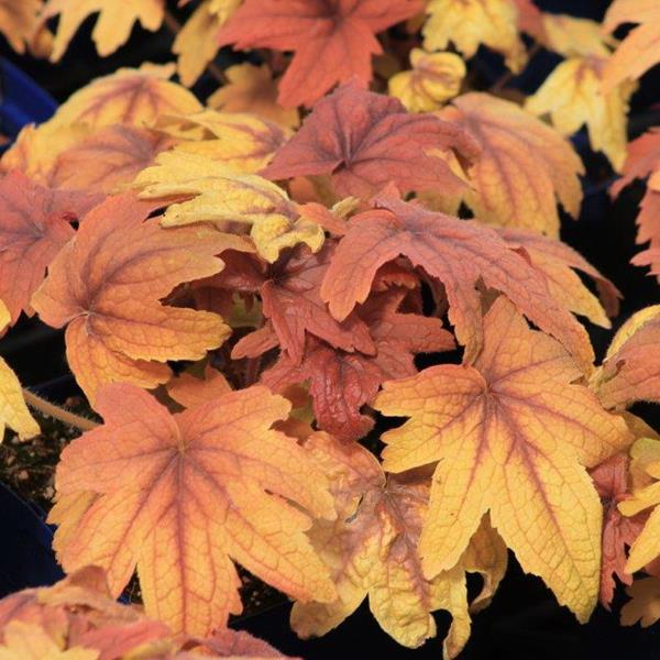 Heucherella Sweet Tea (2)