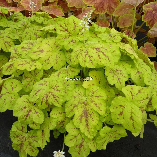 Heucherella \'Yellowstone Falls\' C3L