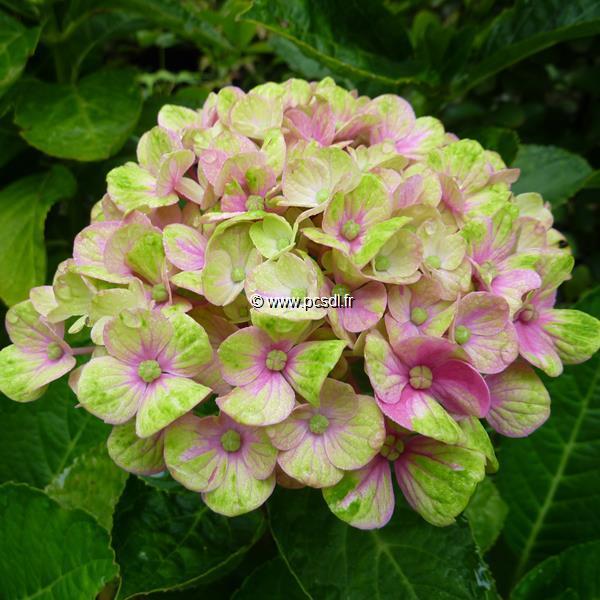 Hydrangea macrophylla \'Coral\' C4L 20/40