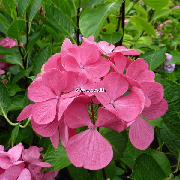 Hydrangea macrophylla \'Punch Curaçao\' ® C4L 20/40
