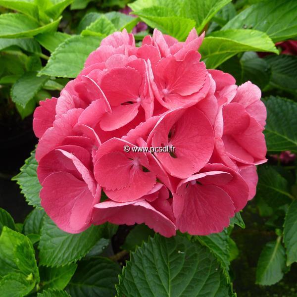 Hydrangea macrophylla \'Red Wonder\' 20/40 C4L