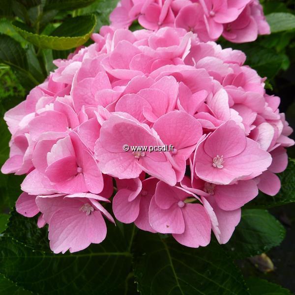 Hydrangea macrophylla (ville de Chine) \'Xian\' ® C4L 20/40