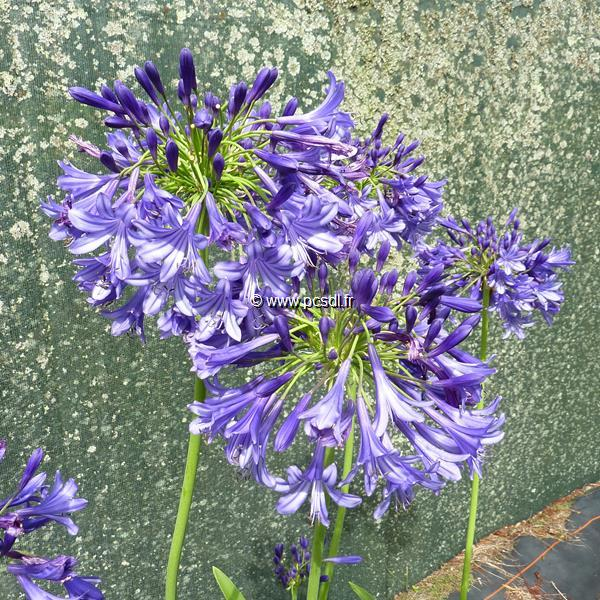 Agapanthus \'Purple Cloud\' C3L