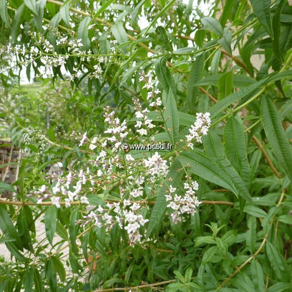 Aloysia citrodora C3L 20/30