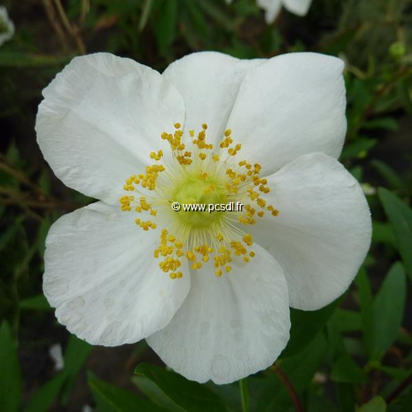 Carpenteria californica C4L 40/60