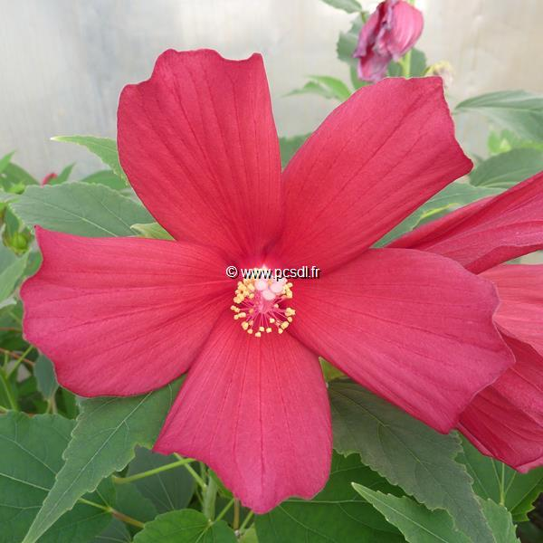 Hibiscus palustris \'Rubra\' C3L