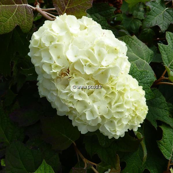 Hydrangea quercifolia \'Harmony\'