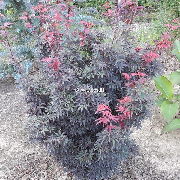 Acer palmatum \'Shaina\' 30/40 C5L