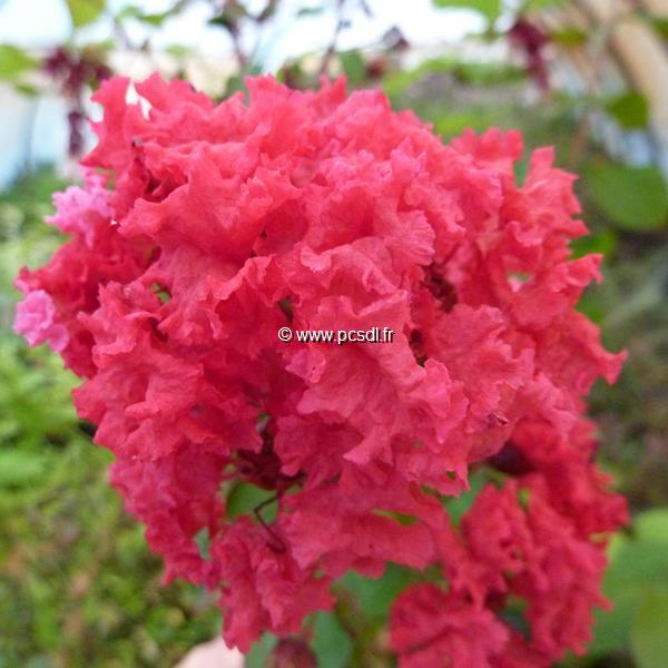 Lagerstroemia indica \'Dynamite\' ® C7L 80/100