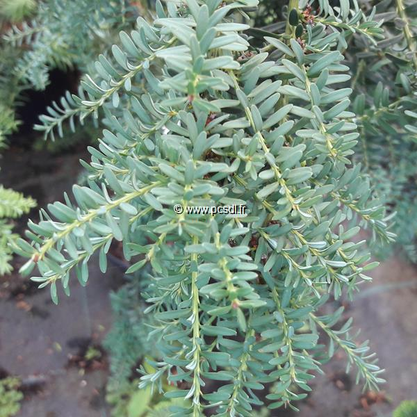 Podocarpus lawrencei \'Blue Gem\' C4L 40/50