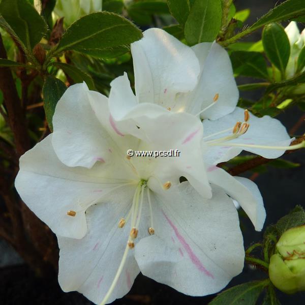 Rhododendron (azalée persistante) \'Encore Starlite\' ® C3L 20/30