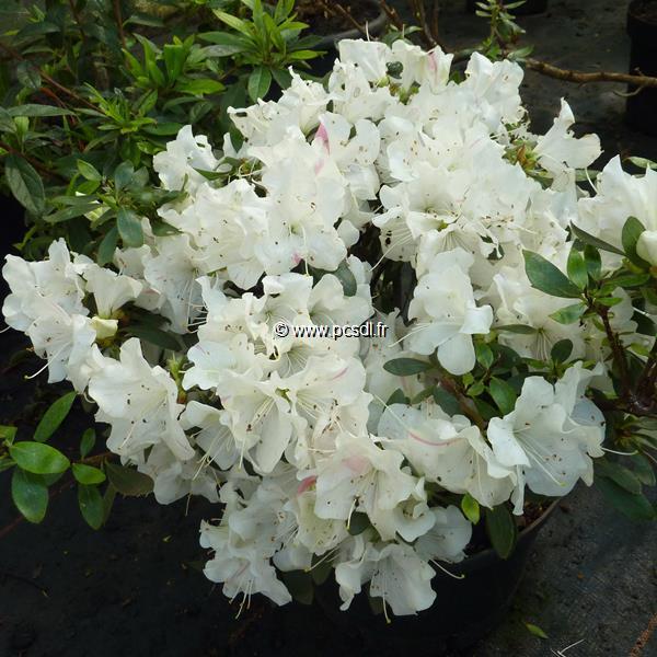 Rhododendron (azalée persistante) \'Encore Starlite\' ® C7L 30/40