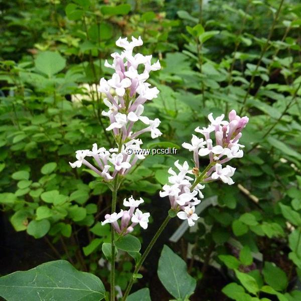 Syringa \'Flowerfesta ® White\' C3L 40/50