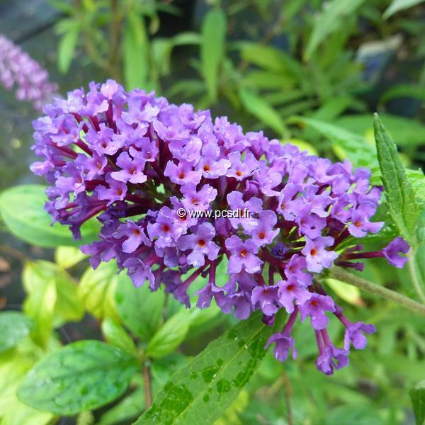 Buddleja davidii \'Purple Emperor\' ® 40/50 C4L