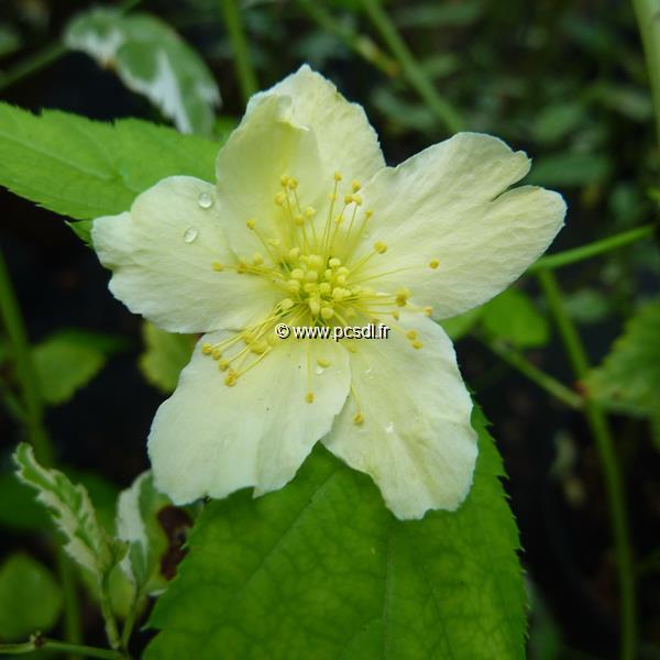 Kerria japonica \'Albescens\' C4L 40/60