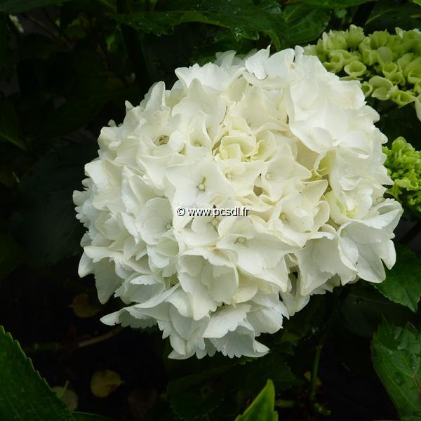 Hydrangea macrophylla \'First White\' 20/40 C4L