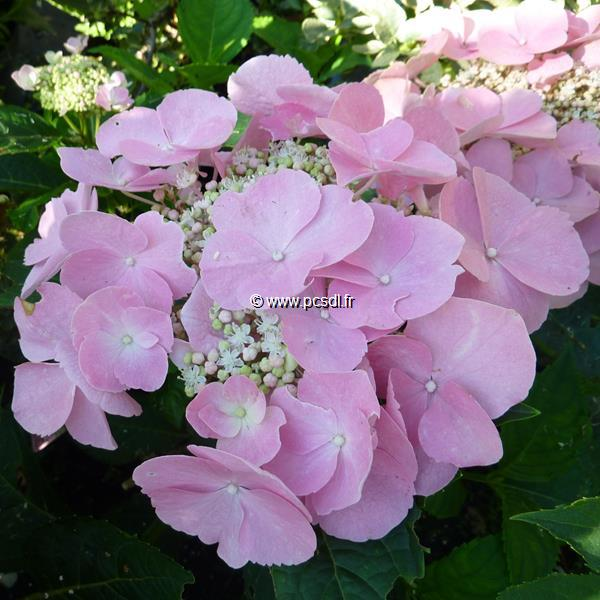 Hydrangea macrophylla \'Frisbee\' ® C4L 20/40