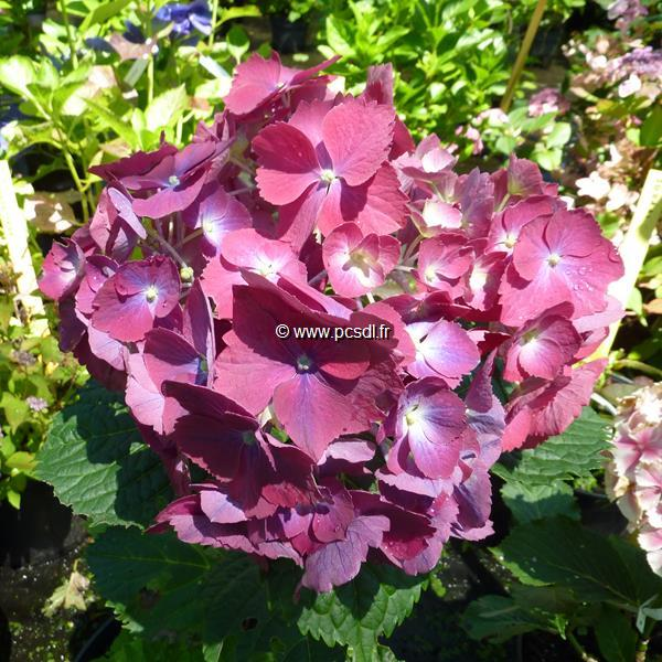 Hydrangea macrophylla \'Holehird Purple\' C4L 20/40