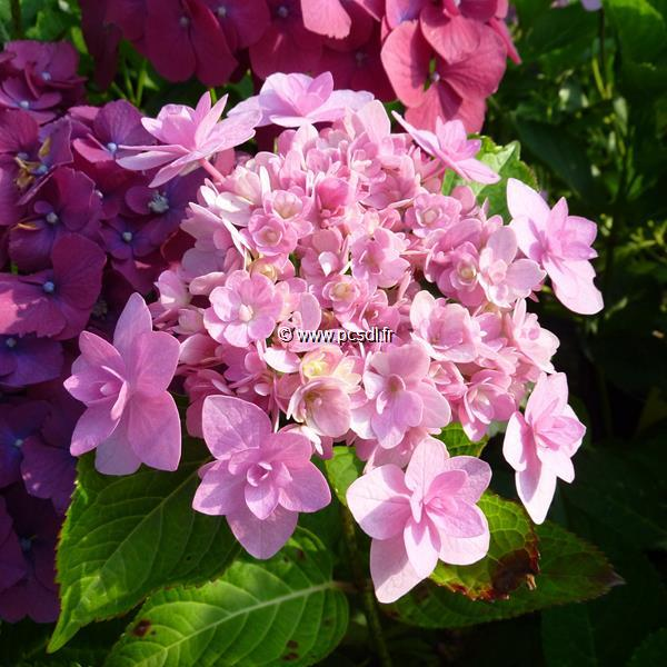 Hydrangea macrophylla (Hovaria) \'Jomari\' ® C4L 20/40