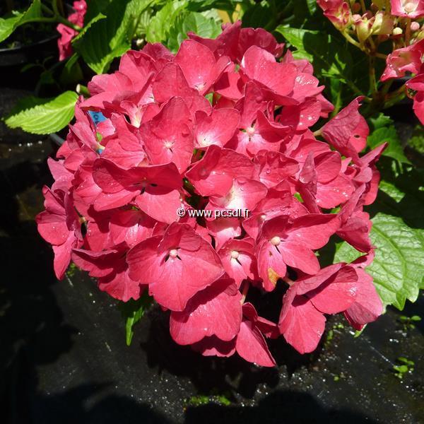 Hydrangea macrophylla \'Mascotte\' C4L 20/40