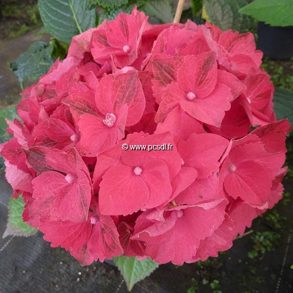 Hydrangea macrophylla \'Ruby Tuesday\' ® C4L 20/40