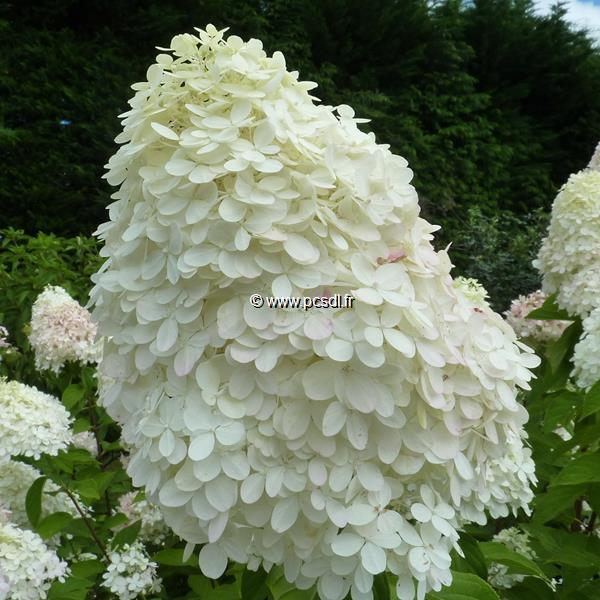 Hydrangea paniculata \'Limelight\' ® C12L tige 90cm