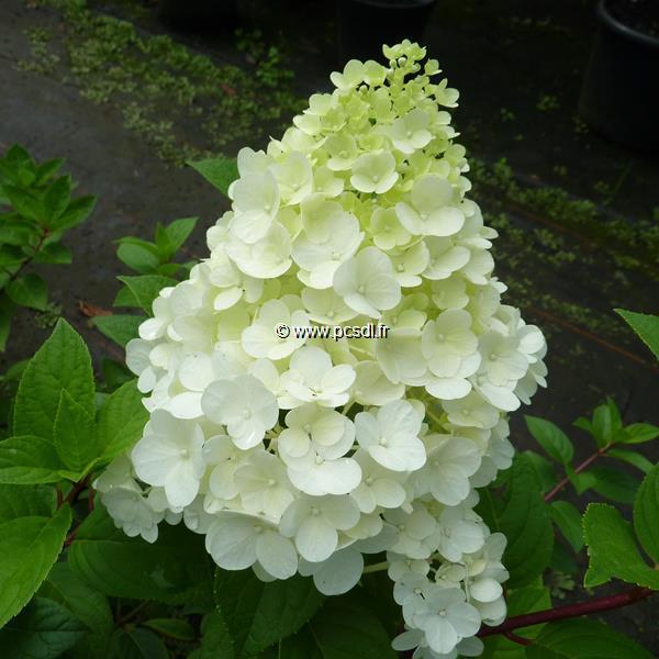 Hydrangea paniculata \'Sundae Fraise\' ® C15L 60/80