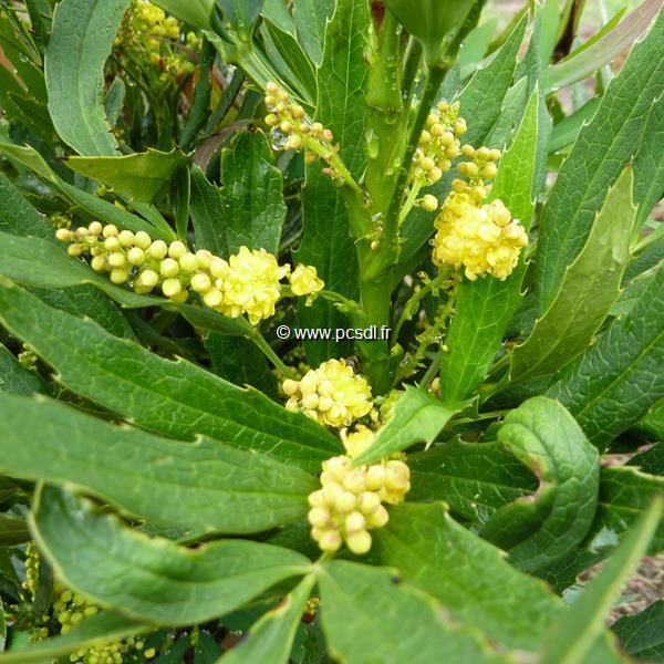 Mahonia fortunei C45L 125/150 x 150