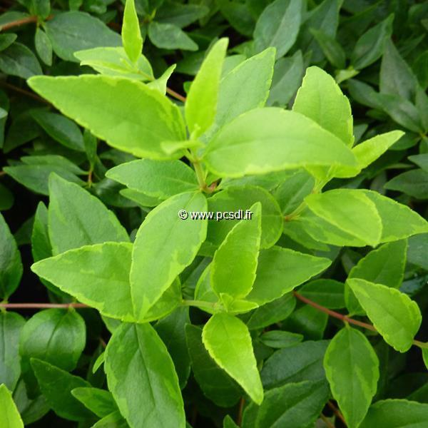 Abelia x grandiflora \'Happy Daydream\' ® C4L 30/40