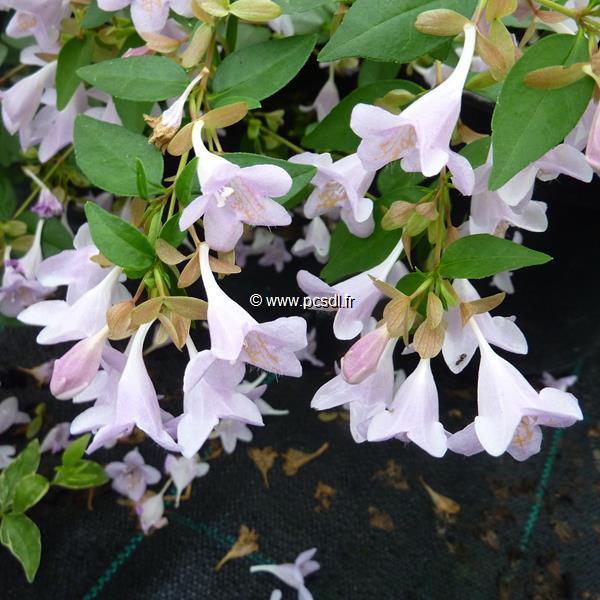 Abelia x grandiflora \'Pink Pong\' ® C4L 30/40