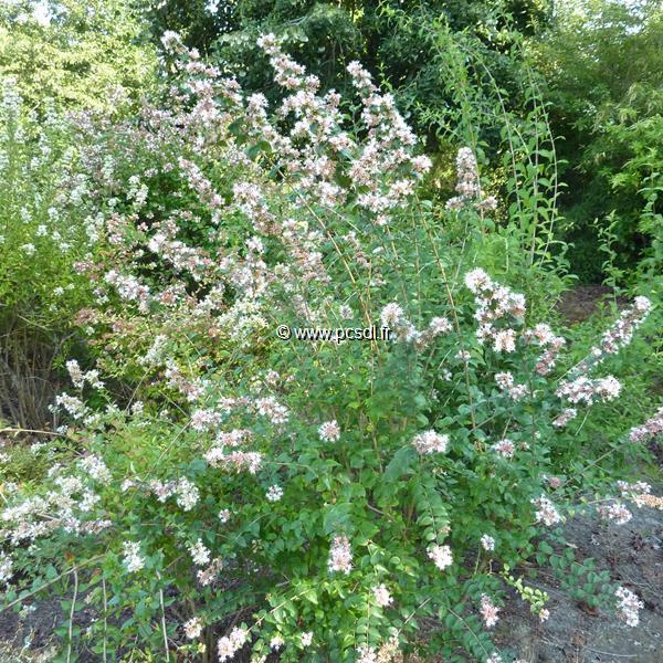 Abelia Chinensis C4l 4060 Tous Les Arbustes Pépinières Côte Sud