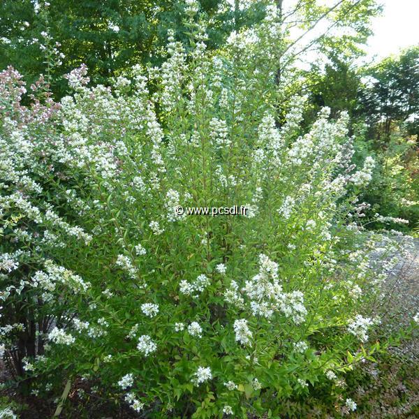 Abelia Chinensis White Surprise C4l 4050 Tous Les Arbustes