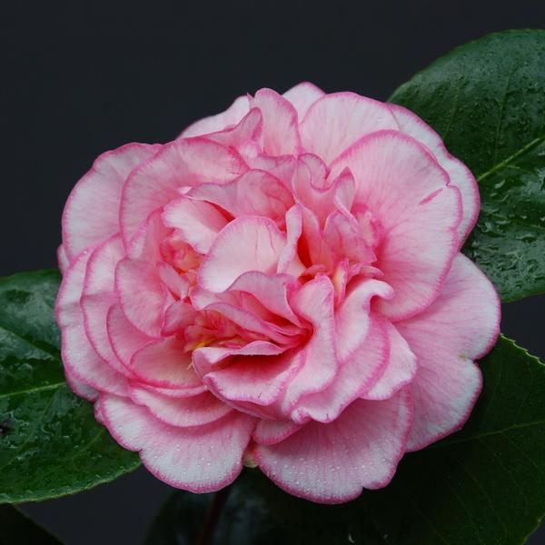 Camellia japonica \'Cancan\' C4L 40/60