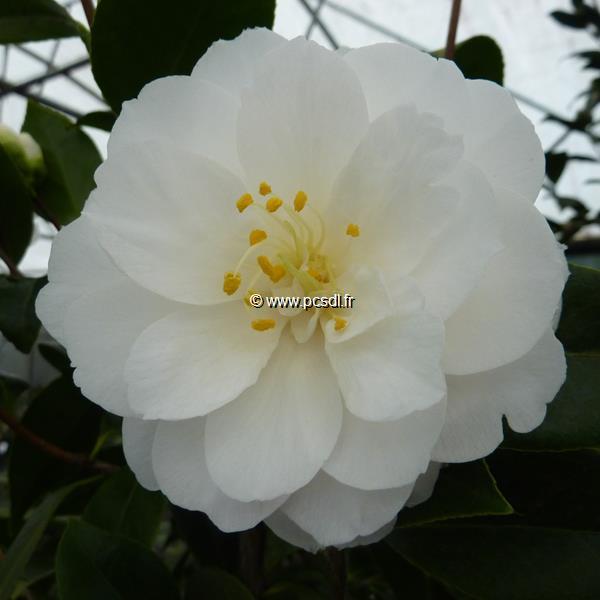 Camellia japonica \'K. Sawada\' C70L 200/250