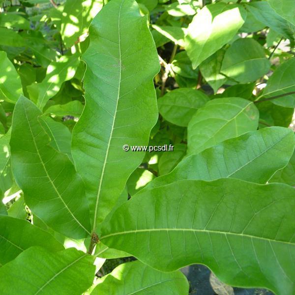 Quercus imbricaria 40/60 C4L